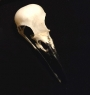 Genuine Crow skull